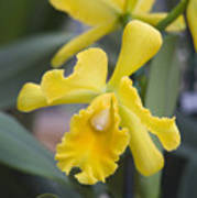 Bright Yellow Cattleya Orchid Print by Allan Seiden - Printscapes