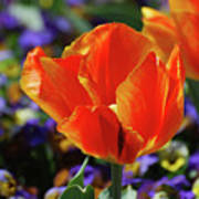 Brilliant Bright Orange And Red Flowering Tulips In A Garden Art Print
