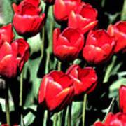 Brilliant Tulips Dp22 Art Print