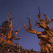 Bristlecone Pines At Sunset With A Rising Moon Art Print