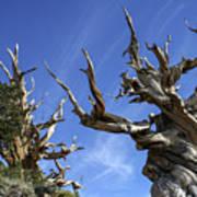 Bristlecone Trees Art Print