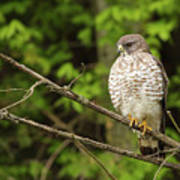 Broad Winged Hawk On The Lookout Art Print