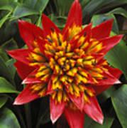 Bromeliad Blooming Art Print