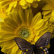 Brown Butterfly On Yellow Daisies  Art Print