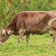 Brown Cow Grazing Art Print