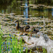 Brown Ducks On Log Art Print