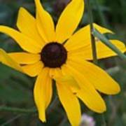 Brown Eyed Susan Art Print