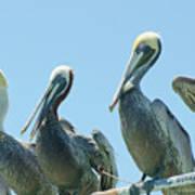 Brown Pelican 4 Art Print