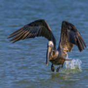 Brown Pelican Taking Off Art Print