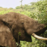 Browsing Elephant Art Print