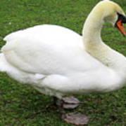 Bruges Swan 1 Art Print
