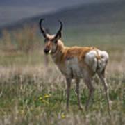 Buck Antelope  Art Print