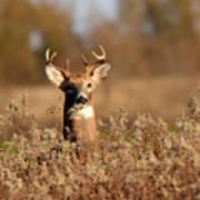 Buck In The Weeds Art Print