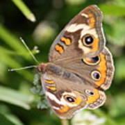 Buckeye Butterfly Square Art Print