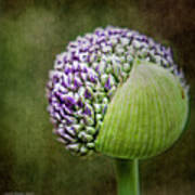 Budding Allium Art Print