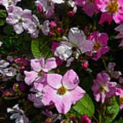 Buds And Petals- Pink Roses- Rose Bush- Floral Art Art Print