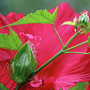 Buds Before Blooms Art Print