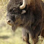 Buffalo Bull Art Print
