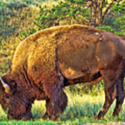Buffalo Custer State Park  Art Print