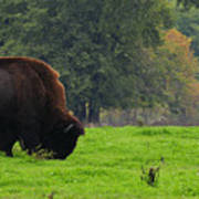 Buffalo In Spring Grass Art Print