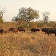 Buffalo In The Timbavati Art Print