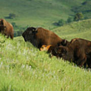 Buffalo On Hillside Art Print