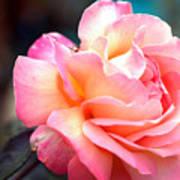 Buffum Rose Art Print