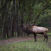 Bull Elk Bugle Art Print
