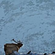 Bugling Bull Elk, Alberta Canada Art Print