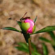 Bugs Wanting The Same Flower Art Print