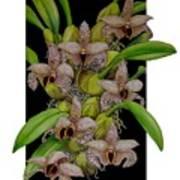 Bulbophyllum Sumatranum Art Print