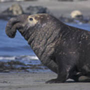Bull Elephant Seal Art Print