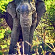 Bull Elephant Threat Art Print
