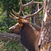 Bull Elk 2 Art Print