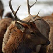 Bull Elk At Hardware Ranch 2 Art Print