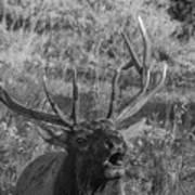 Bull Elk Bugling Art Print