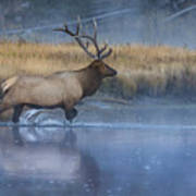 Bull Elk Crossing The Madison River Art Print