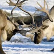 Bull Elk Fighting  Art Print