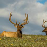 Bull Elk Friends For Now Art Print