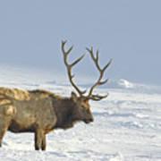 Bull Elk In Snow Art Print