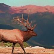 Bull Elk On Trail Ridge Road Art Print