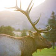Bull Elk Profile Art Print