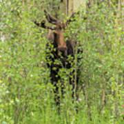 Bull Moose Guards The Aspen Art Print