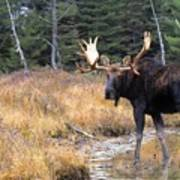 Bull Moose In Stream Print by Natural Selection Bill Byrne