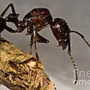 Bullet Ant Art Print