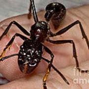 Bullet Ant On Hand Art Print