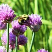 Bumble Bee And Chives Art Print