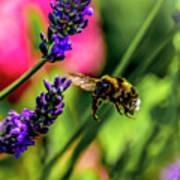 Bumble Bee In Flight Art Print