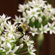 Bumble Bee On Wild Onion Flower Art Print