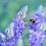 Bumblebee And Lupine Art Print